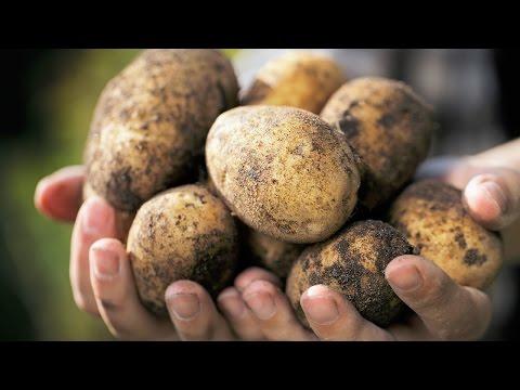 Купить семена картофеля в казахстане состав и польза картофеля. Картофель в своем составе содержит внушительное количество полезных веществ: витамины группы в и витамин с, рр, а, е;; незаменимые аминокислоты;; белки;; макроэлементы и микроэлементы;; крахмал;; ди и моносахариды.