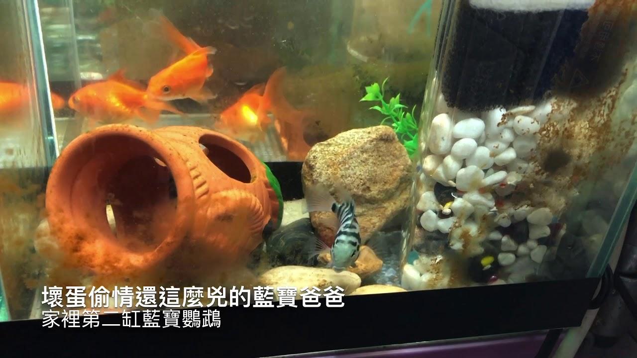 魚 我養的七缸魚 - YouTube