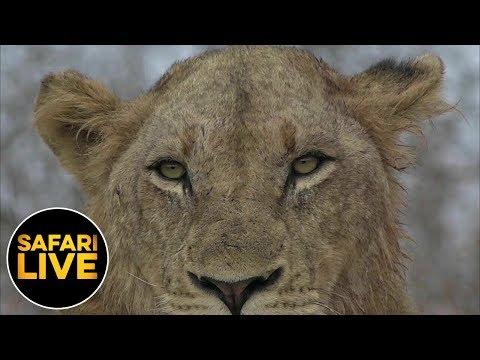 safariLIVE - Sunrise Safari - June 26, 2019