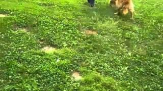 Fancy, A Puppy Mill Breeder Dog At Dvgrr