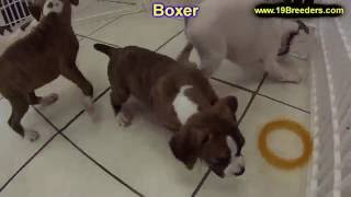 Boxer, Puppies, For, Sale, In, Denver, Colorado, Co, Fort Carson, Black Forest, Welby, Greenwood Vil