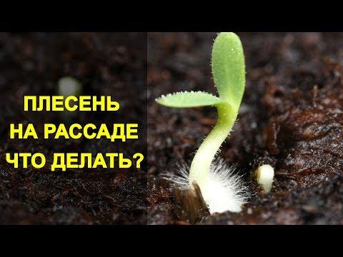 Плесень на Рассаде - Что Делать и Как Избавиться от Плесени. Плесневеет Земля в Рассаде. | избавиться | томатов | рассаде | рассада | плесень | делать | налет | белый | что | как