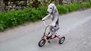 Barry the dog that rides a tricycle