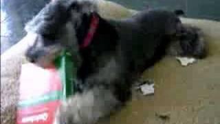 Miniature Schnauzer Trying To Destroy A Box