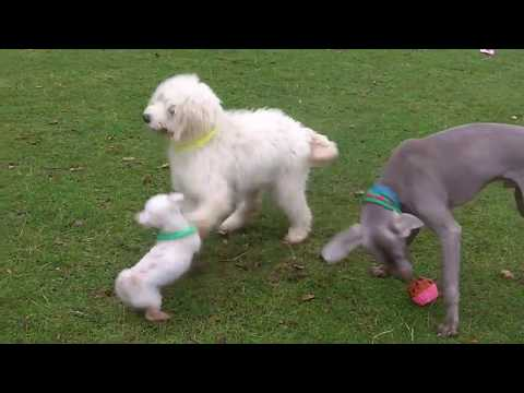 Bichon, Golden Doodle & Weimaraner larking around