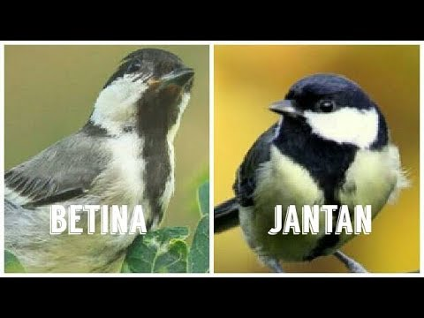 Cara Membedakan Jenis Kelamin Burung Glatik Jantan Dan Betina Tips Youtube