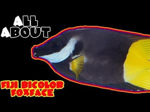 All About The Bicolor Fiji Foxface