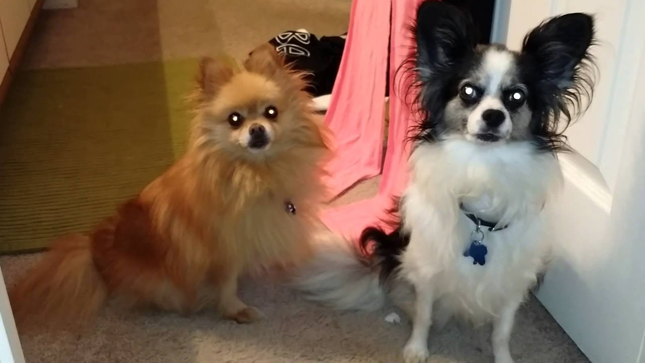 pomeranian papillon pomeranian papillon listening intently youtube 7402