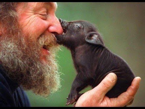 Кормление вьетнамских поросят||Травоядные свиньи