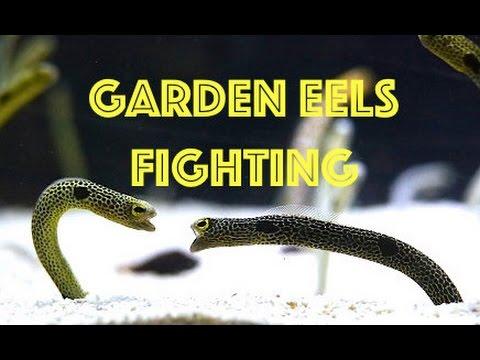 Epic Spotted Garden Eel Fight (2 Eels vs. 1 Eel) Incredible Underwater  Footage HD