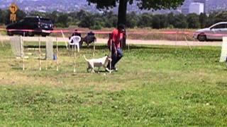 Mini Bull Terrier Agility - Trevor's 1st Q Jww