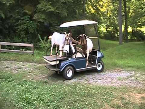 Goats Riding In Golf Cart Mpg