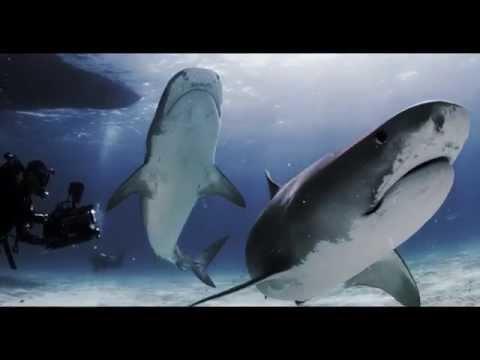 SCUBAPRO | Tigerland: Where Tiger Sharks Reign Supreme