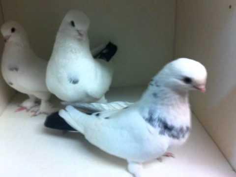 pigeon latin