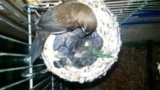 Амадины кормят птенцов .