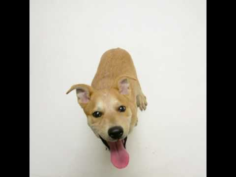 Meet Adele a Australian Cattle Dog currently available for adoption at Petango.com! 5/8/2017 5:04:26