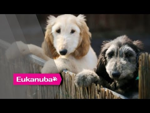 Eukanuba World Challenge - Colin the Afghan Hound - Part 1