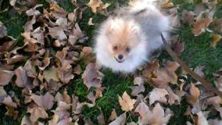 Baby Pomeranian Playing In The Leaves!!