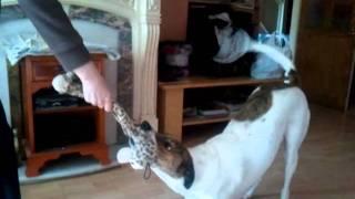 lurcher playing tugga on slippy floor silly dog