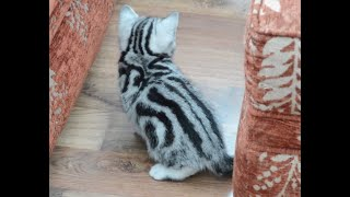 Robocat Silver Tabby Kittens display perfect patterns in black and silver.
