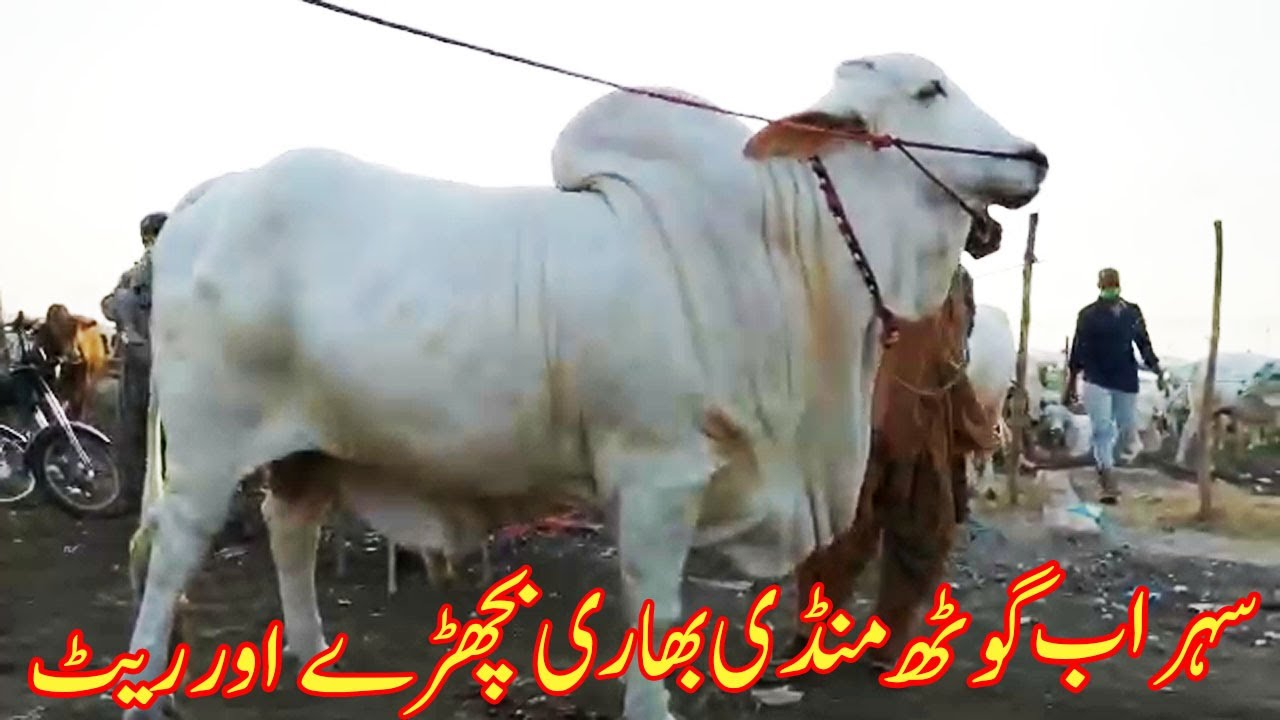 Sohrab Goth Mandi Heavy Bull And Rate Latest Update | SS TV |