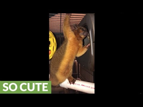 Super cute kinkajou grooming session