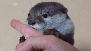 カワウソさくら  鳴きながらやたらにおいを嗅いでくる 笑  Otters smelling the smell thumbnail