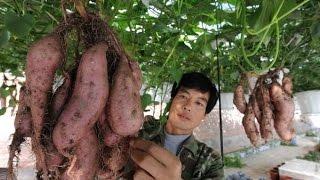 Lạ lùng khoai lang trồng giàn không cần đất vẫn cực kì bội thu