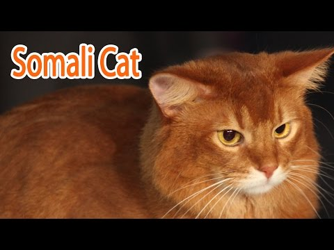 Somali Cat Breed