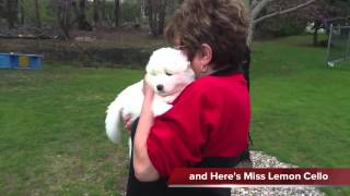 Samoyed Dazzzle's Newest Litter
