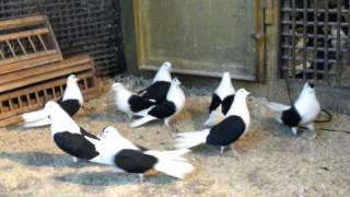 Николаевские  мастные голуби