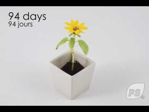 planter un tournesol en pot