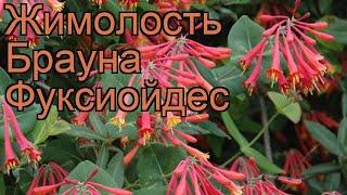 Жимолость брауна Фуксиойдес (lonicera ×brownii) ???? обзор: как сажать, саженцы жимолости Фуксиойдес