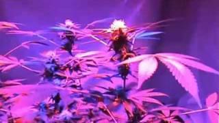 90 watt UFO Led grow lights indoor plant cannabis 14 weeks harvest