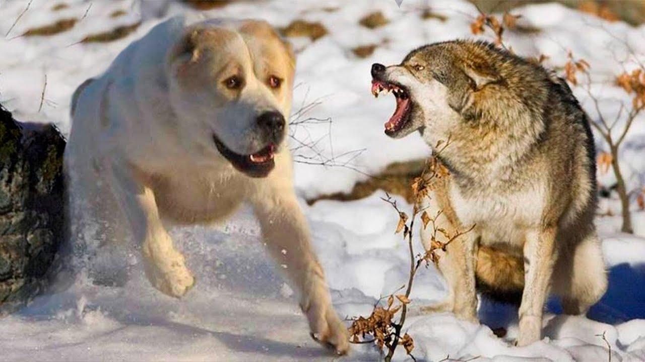 фото черепа волка и алабая сюжетный поворот особенно