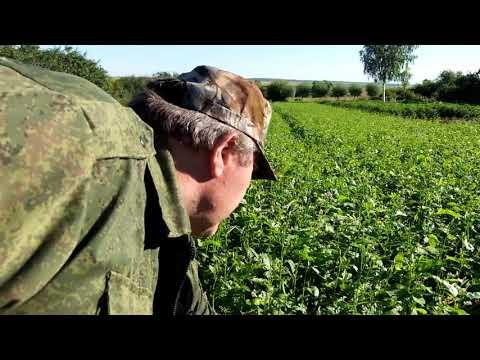 Вопрос: Как защитить дайкон, капусту, редис от крестоцветной блошки?