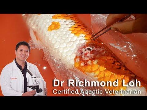 Fish Pond EMERGENCY, PH Crash, Skin Ulcers, Septicaemia In Koi Fish