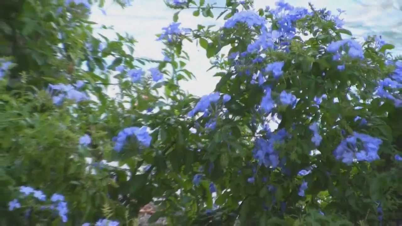 Plumbago Flowering Shrub Plumbago Auriculata Monott
