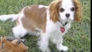 Cavalier King Charles Puppies For Sale In Pa