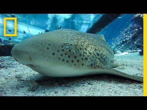 "Endangered Shark Gives Rare ""Virgin Birth"" | National Geographic"