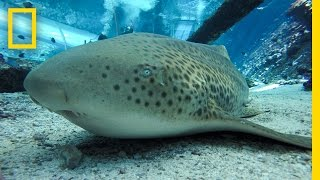"Endangered Shark Gives Rare ""Virgin Birth"" 