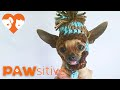 Adorable, Dancing Teacup Chihuahua Pup Is Not Dancing At All