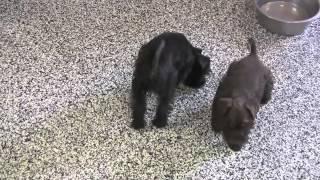 """mini"" Akc Miniature Schnauzer Puppies For Sale At Dyerfarms.com"