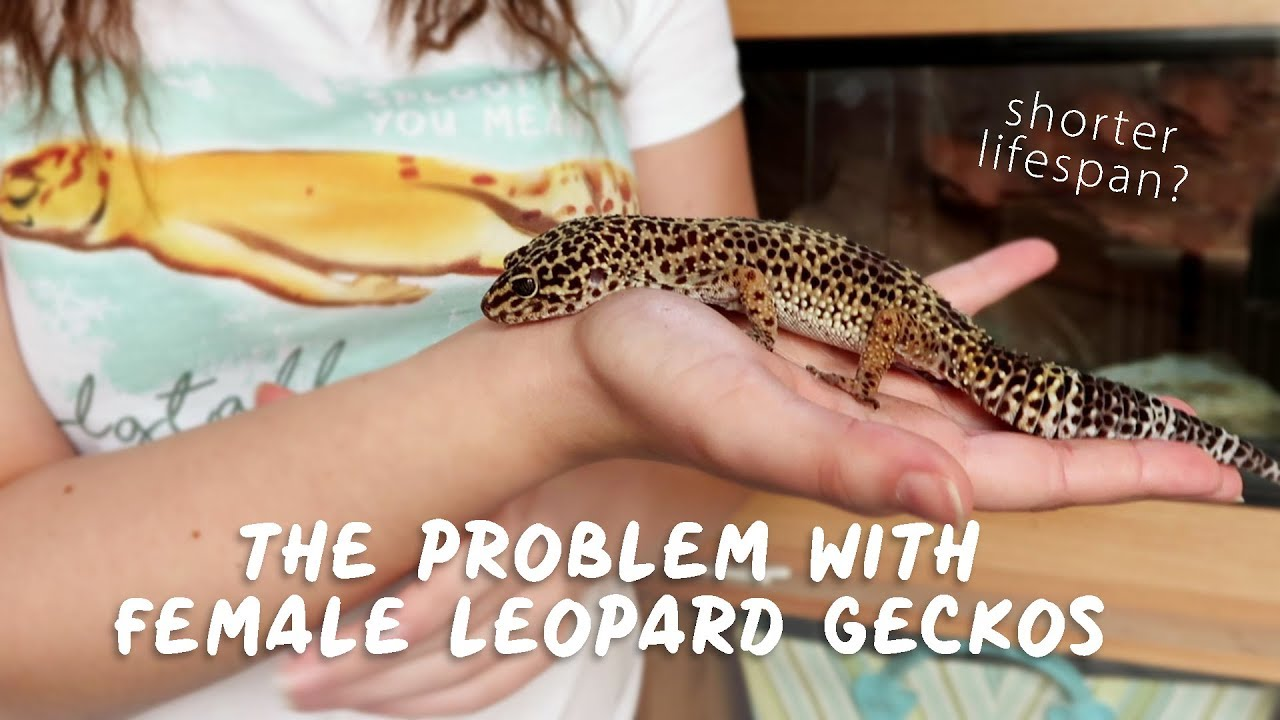 The Problem With Female Leopard Geckos Youtube