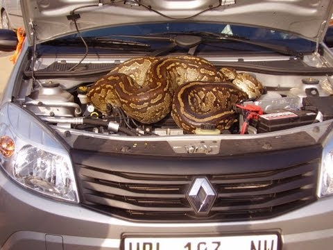 Huge Python In Car's Bonnet
