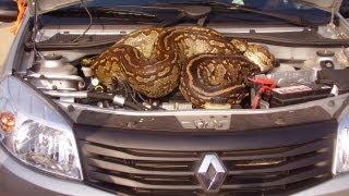 Huge Python in Car's Bonnet