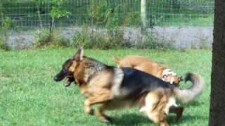 German Shepherd And Boxer