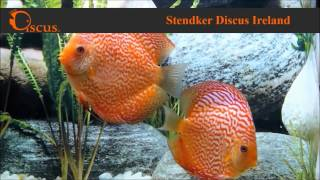 Discus.ie - Stendker Pigeon Blood Snake size from 8 cm up to Jumbo(