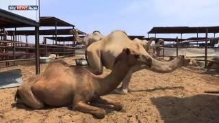 فيديو..السعودية تمنع دخول الإبل للأماكن المقدسة