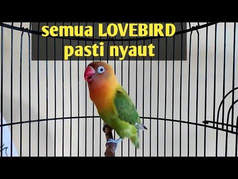 Suara burung Lovebird ini ampuh bikin labet apapun ikut bunyi,pancingan lovebird ngekek panjang
